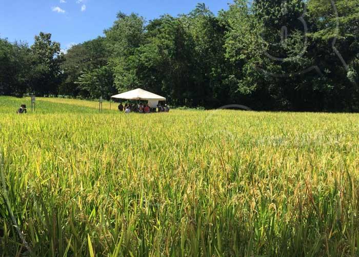 INTA y Misión Taiwán capacitan a productores de arroz en Chinandega - TN8 Nicaragua