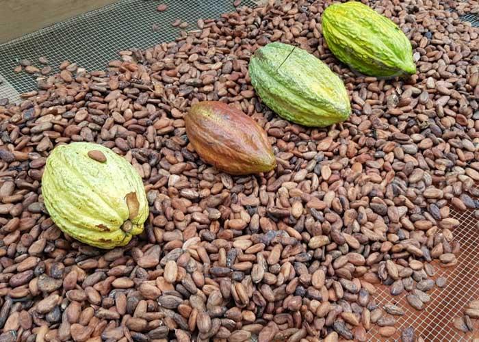 El cacao toma auge en la economía de Masaya - TN8 Nicaragua