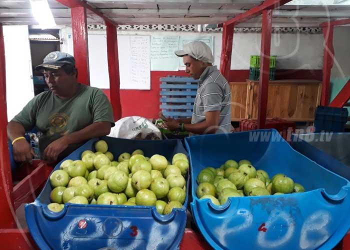 Guayaba taiwanesa, rubro de gran producción en La Concordia, Jinotega - TN8 Nicaragua
