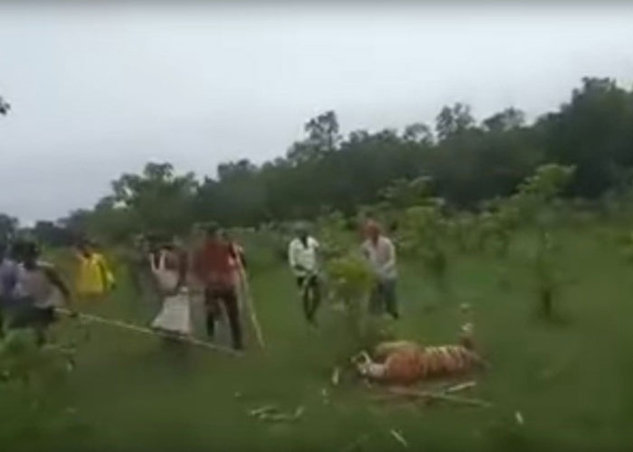 india, maltrato animal, video viral, matan a tigresa, agresiones,