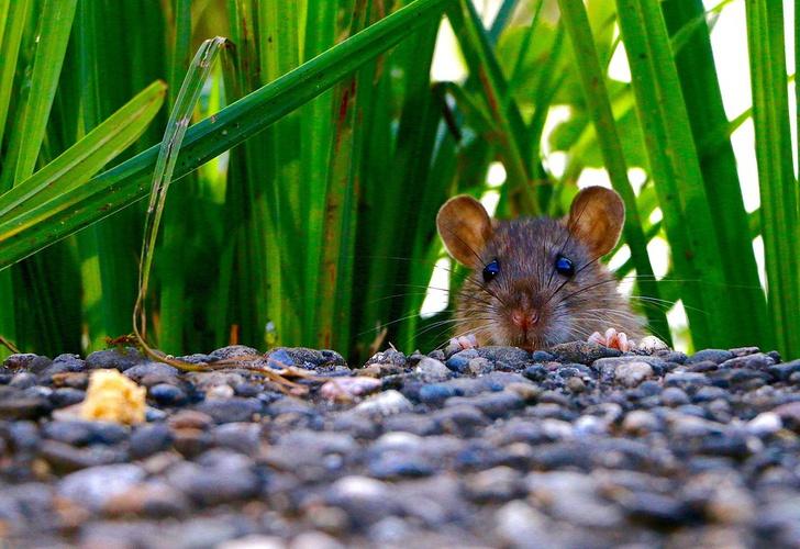 Crece planta de soja en la espalda de una rata