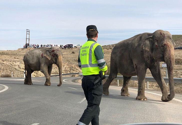 Vuelca camión que transportaba elefantes y el caos reina en carretera