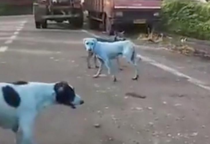 Perros azules pasean por India debido a río contaminado
