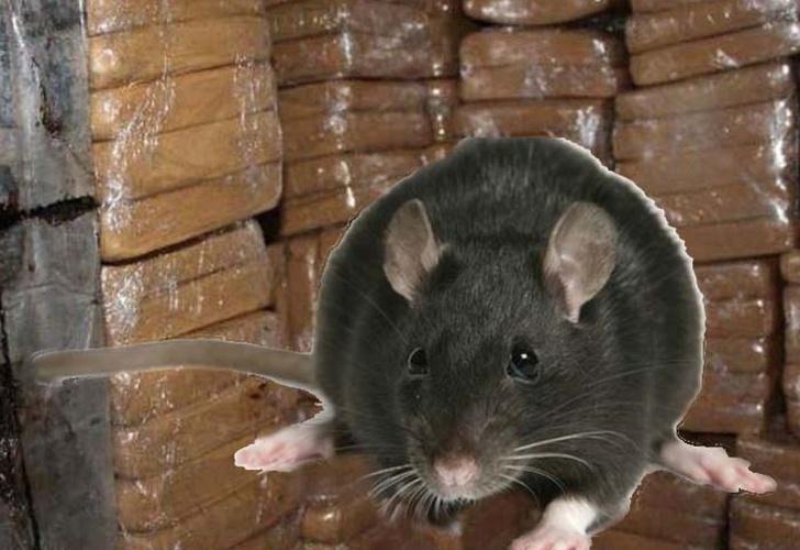 Policías afirman que ratas se habrían comido 540 kilos de marihuana