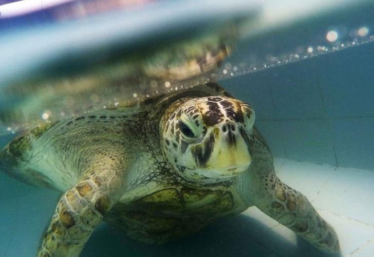 Muere tortuga Alcancía que tragó 915 monedas en estanque de Tailandia