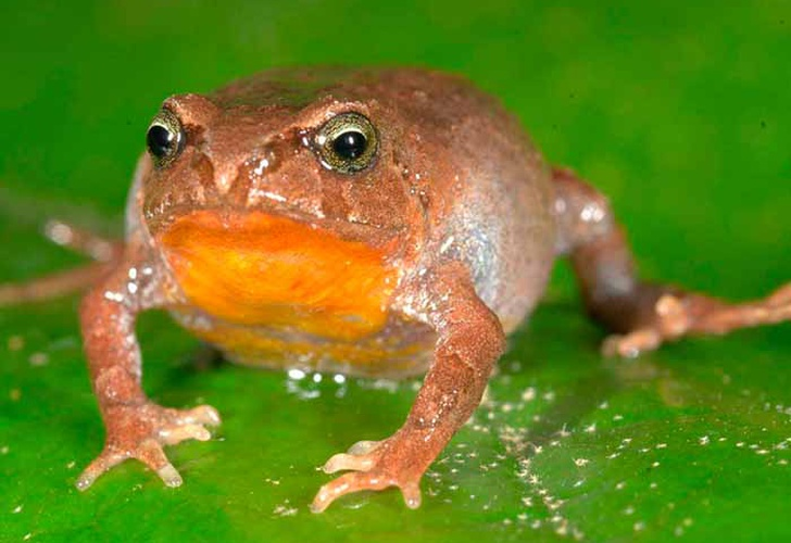 Cuatro nuevas especies de ranas fueron descubiertas en Perú