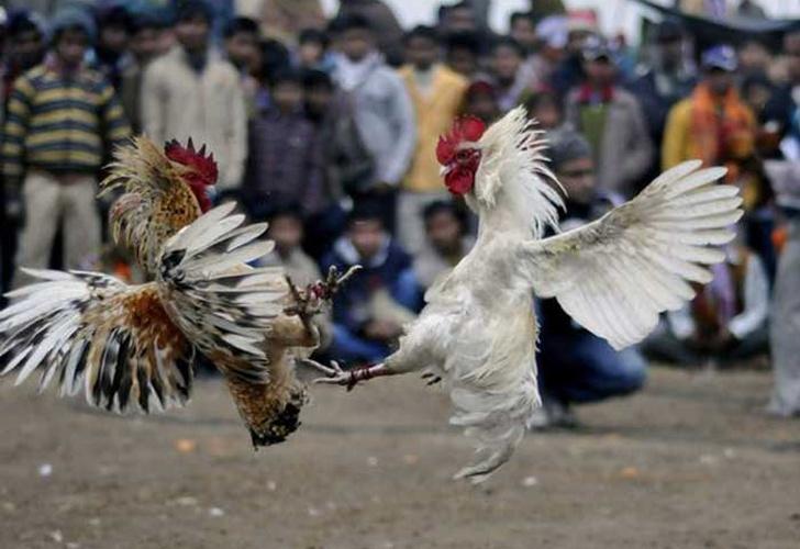 espana, 182 personas detenidas, maltrato animal, campeonato ilegal de pelea de gallos, arresto,