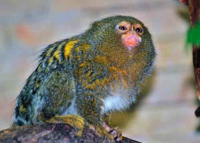 Ecuador: Descubren nueva especie del primate más pequeño del mundo