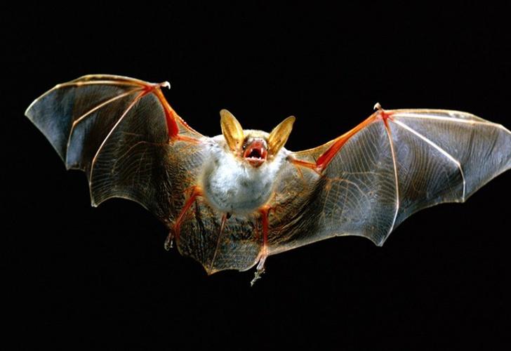 Científicos revelan secretos del murciélago vampiro para sobrevivir con dieta de sangre
