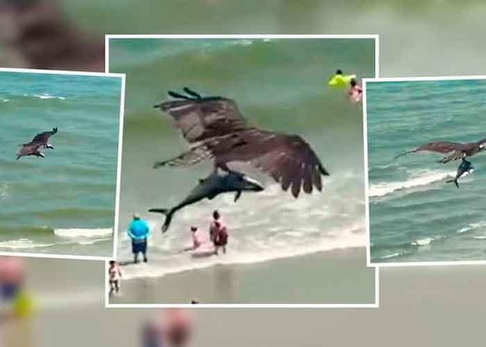 Águila es captada cazando un pequeño tiburón en playas de Florida