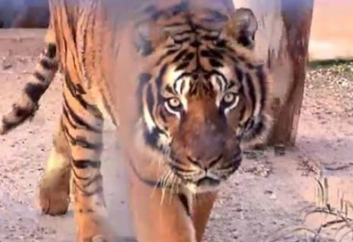 Tigre le arranca los brazos a su cuidador