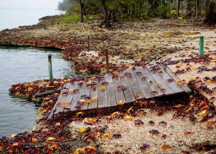 Marcha de cangrejos invade bahía en Cuba