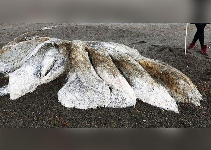 Descubren bestia peluda en en las costas de Kamchatka, Rusia