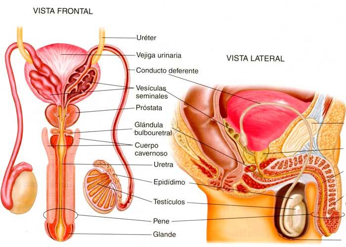 proceso de erección del pene