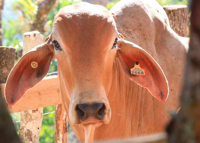 nicaragua, ipsa, ganado bovino, norma tecnica, sistema de registro