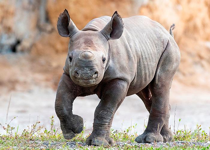 estados unidos, rinoceronte, nacimiento, zoologico de miami, supervision, madre, cria, buen estado
