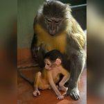 mono panza dorada