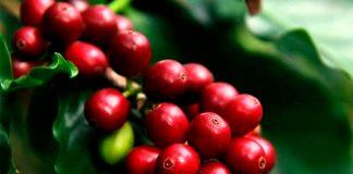 nicaragua, plan nacional, produccion, cafe, grano de oro,