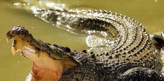 ataque de cocodrilo