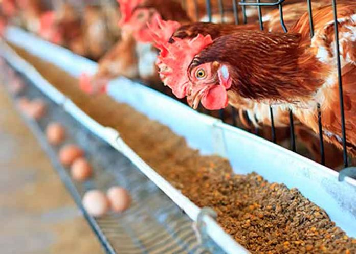 nicaragua, huevo, pollo, avance, plan nacional de produccion