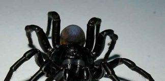 ciencia, araña, nueva especie, descubrimiento, caracteristicas