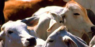 nicaragua, produccion, carnes de res, leche, exportaciones