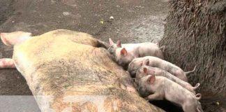 nicaragua, Ometepe, inseminación porcina, economía, familias,