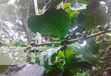 nicaragua, ometepe, cosecha cafetalera 2021-2022, productores,