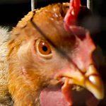 estados unidos, reporte, epidemia, salmonelosis, pollos,