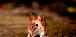 Australia, lluvia, ratones, granja, videos, redes sociales,
