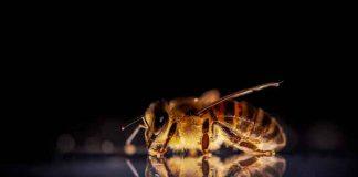 abejas, coronavirus, habilidad, ciencia