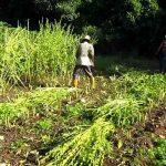 nicaragua, ometepe, ajonjoli, cultivo, produccion,