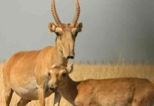 asia, antilopes saiga, muerte, animales en peligro de extincion,