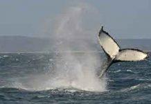 ballenas, estados unidos, video,