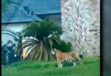 estados unidos, tigre, animales, medio ambiente,