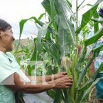 nicaragua, cultivo, produccion, agricultura,