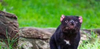 australia, demonios de tasmania, animales, preservacion,