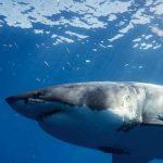 california, tiburones blancos, ciencia,