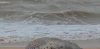 rusia, animales, focas, contaminacion,