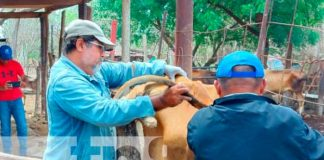 nicaragua, ganado, inseminacion, nandaime,