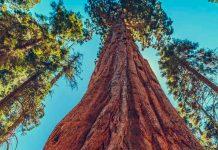 california, incendio, secuoya gigante,
