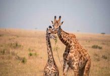 jirafas, ciencia, Software, conservar la especie,