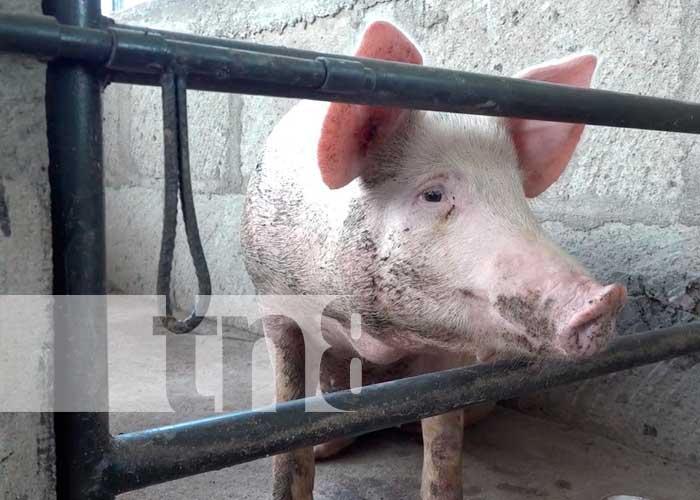 León, Nicaragua, negocios, sector porcino,