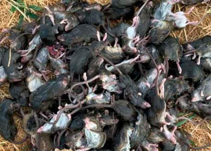 australia, plaga, ratones, medidas, salud,