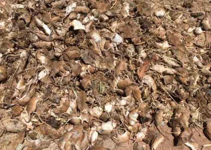 Australia, plaga de ratones, agricultores, economía,
