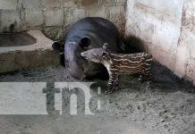 nicaragua, zoologico, tapires, atractivo,