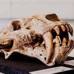 ciencia, descubrimiento, marruecos, dientes de sable, caracteristicas