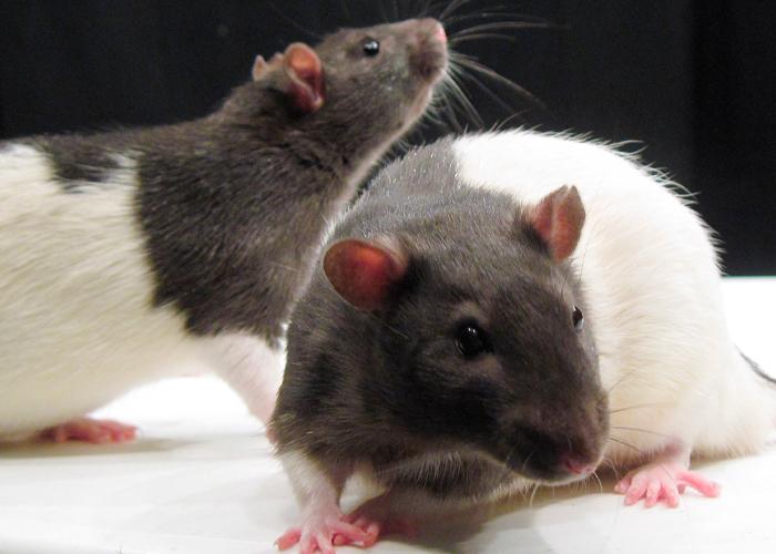 ciencia, ratones, descubrimiento,