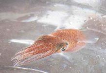 ciencia, nasa, calamares hawaianos, estudios, objetivo