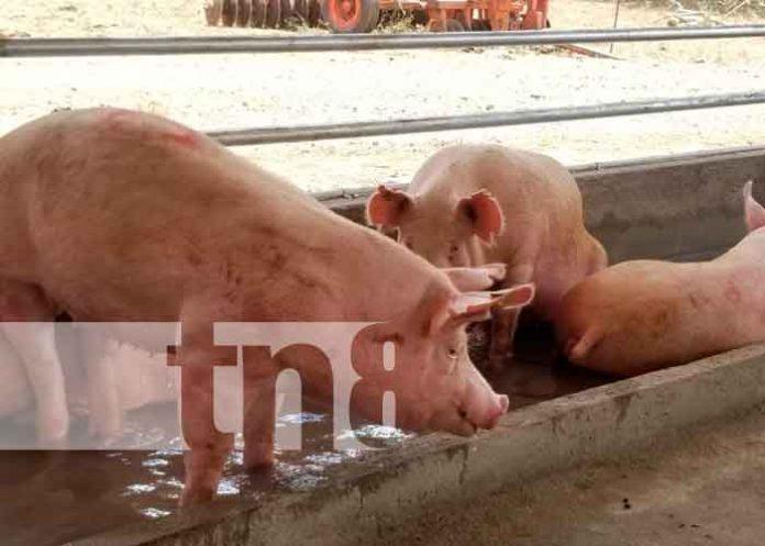 Nicaragua, nueva segovia, granja, inseminación artificial porcina,